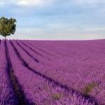 lavender agriculture farm