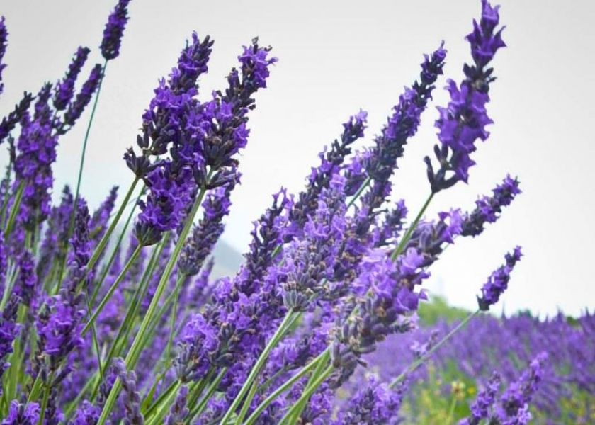 Top 10 Lavender Essential Oil Benefits & How To Use It