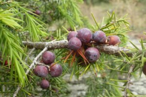juniper berry