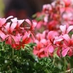 Geranium Essential Oil Flowers