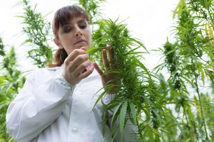 checking hemp plant quality