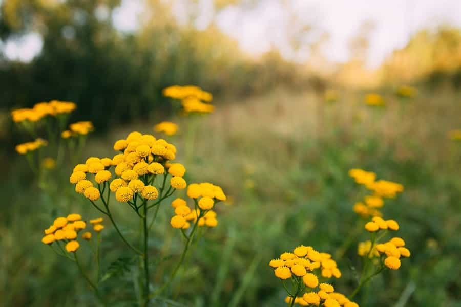 tansy plants in nature field